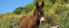 Amorgos Greek donkey